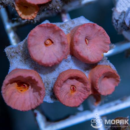 Tubastraea - желтый солнечный коралл