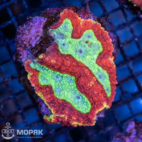 Symphyllia sp (зеленая)