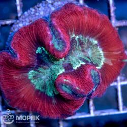 Trachyphyllia geoffroyi (мультицвет)