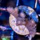 Acropora spp