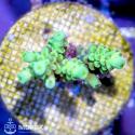 Acropora spp (акропора nano)