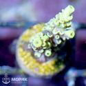 Acropora spp (nano)