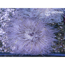 Phymanthus - sand flower anemone