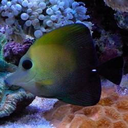 Рыба зебрасома скопас